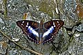 Open wing position of Mimathyma ambica Kollar, 1844 – Indian Purple Emperor WLB DSC 0328.jpg