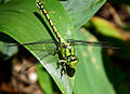 Ophiogomphus cecilia Kiev.JPG