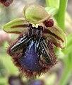 Ophrys speculum 1- Samandag Hatay Turkey.jpg