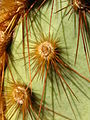 Opuntia chlorotica at South Astrodome 0264 RobbHannawacker.jpg