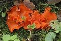 Orange Peel Fungus - Aleuria aurantia (24158279168).jpg
