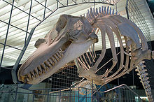 A skeleton is suspended on metal framework, which incorporates an outline of the soft tissue along a median cross-section of the animal. The jaws host many sharp teeth, and pectoral fin bones are attached to the lower ribs. The backbone stretches away out of frame; no hind limb bones can be seen. The outline includes an upright dorsal fin and rounded forehead.