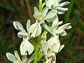 Orchidaceae - Orchis provincialis-2.JPG