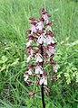 Orchis purpurea kz01.jpg