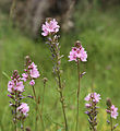 Oregon checkerbloom 7-flowerstalks.jpg