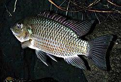 Oreochromis mossambicus by NPS.jpg
