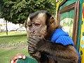 Organ Grinders Monkey (129910465).jpg