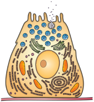 Exoenzyme - Organelles of the secretory pathway involved in the secretion of exoenzymes
