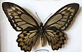Ornithoptera croesus lydias female.jpg