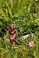 Orobanche gracilis Sm.jpg