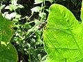 Orthetrum sabina - Green Marsh Hawk at Kottiyoor (1).jpg