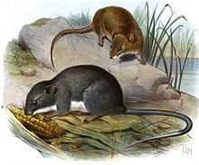 A brown rat on a rock above and a gray rat eating corn below.