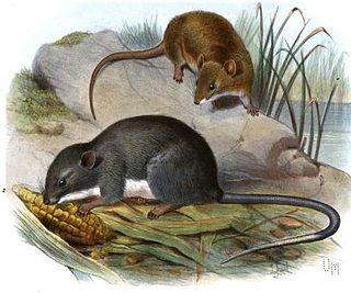 Panamanian climbing rat species of mammal