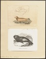 Otaria leonina - 1700-1880 - Print - Iconographia Zoologica - Special Collections University of Amsterdam - UBA01 IZ21100043.tif