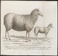 Ovis aries - 1794 - Print - Iconographia Zoologica - Special Collections University of Amsterdam - UBA01 IZ21300077.tif
