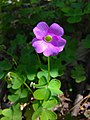 Oxalis violacea - Violet Wood Sorrel.jpg