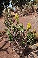 Pájara La Lajita - Oasis Park - Aeonium arboreum 01 ies.jpg