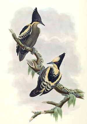 Heart-spotted woodpecker - Painting from John Gould's Birds of Asia