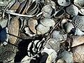 PSJ FL shells01.jpg