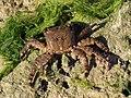 Pachygrapsus marmoratus 2012 G1.jpg