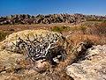 Pachypodium, Madagascar (21596764909).jpg