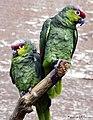 Pair of Lilacine Amazons (33989692752).jpg