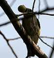 Pale-billed Flowerpecker (Dicaeum erythrorhynchos) with a Muntingia calabura (Singapur cherry) fruit W IMG 8479.jpg