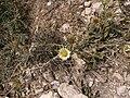Pallenis spinosa 03-06-DingliCliffs 01.jpg