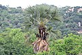 Palm - Borassus flabellifer and a Red-vented bulbul.jpg