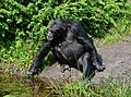 Pan troglodytes - Serengeti-Park Hodenhagen 03.jpg