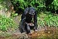 Pan troglodytes - Serengeti-Park Hodenhagen 07.jpg
