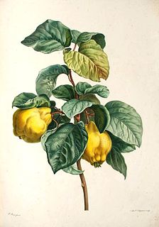 Quince species of plant