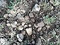 Pandanus heterocarpus seeds Rodrigues.jpg