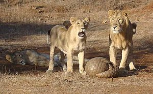 Pangolin - Indian pangolin defending itself against Asiatic lions