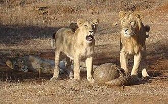 Pangolin - Indian pangolin defending itself against Asiatic lions