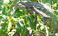 Panther chameleon 2.JPG