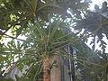 Papaya tree India.jpg