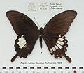 PapilioFuscusDayacusMUpUnAC1.jpg
