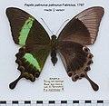 PapilioPalinurusFUpUn.jpg