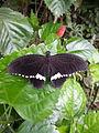 Papilio Polytes (Common Mormon).jpg