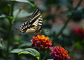 Papilio machaon-pjt1.jpg