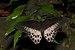 Papilio polymnestor on Kadavoor.jpg