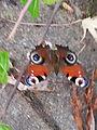 Papillon - 2.jpeg