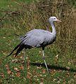 Paradieskranich Anthropoides paradisea Tierpark Hellabrunn-9.jpg