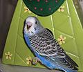 Parakeet young.jpg