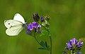 Parc Natural del Garraf - Papallona - Pieris napi - Butterfly (4294507945).jpg