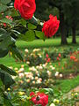 Parc de la Tête d'Or - rose du jardin.jpg