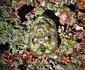 Parribacus antarcticus Maldives.JPG