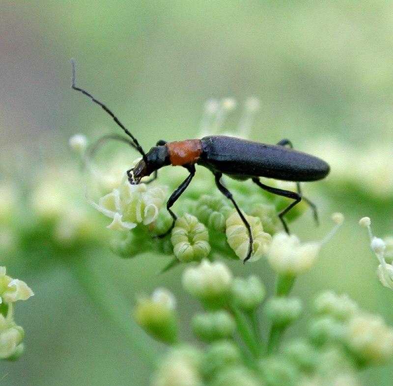 Parsley beetle 7377