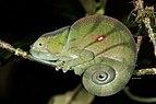 Parson's chameleon (Calumma parsonii cristifer) female Andasibe.jpg